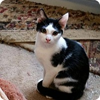 Domestic Shorthair Cat for adoption in Chatham, Virginia - Ringo
