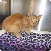Domestic Shorthair Cat for adoption in Grand Junction, Colorado - Apricot