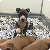 Adopt A Pet :: Vixen-pending adoption - Manchester, CT