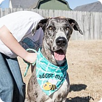 Great Dane Dog for adoption in Memphis, Tennessee - Eleven