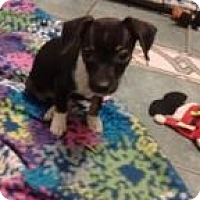 Adopt A Pet :: Babs - North Richland Hills, TX