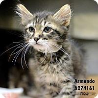 Adopt A Pet :: ARMONDO - Conroe, TX