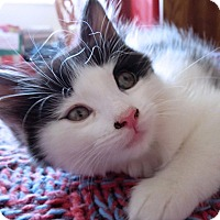 Domestic Shorthair Kitten for adoption in Mississauga, Ontario, Ontario - Galena