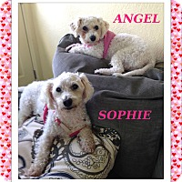 Adopt A Pet :: Sophie and Angel - KY - Tulsa, OK