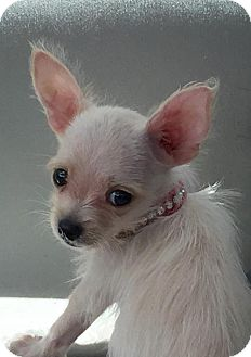Chihuahua/Maltese Mix Dog for adoption in West Palm Beach, Florida - Why