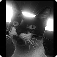 Adopt A Pet :: Simone - Sherman Oaks, CA