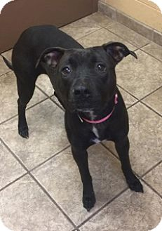 Pit Bull Terrier Mix Dog for adoption in Joplin, Missouri - Girlfriend 5337