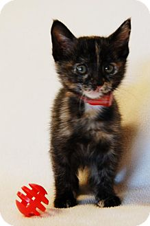Domestic Shorthair Kitten for adoption in Toccoa, Georgia - Smacks