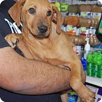 Adopt A Pet :: Sassy - Brooklyn, NY