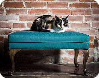 Domestic Shorthair Cat for adoption in St. Louis, Missouri - Penelope