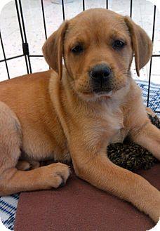 Shepherd (Unknown Type)/Labrador Retriever Mix Puppy for adoption in Phoenix, Arizona - Cleo
