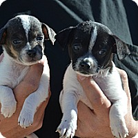 Adopt A Pet :: Samantha - Perris, CA