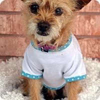 Adopt A Pet :: Lucy-Adoption pending - Bridgeton, MO