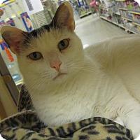 Calico Cat for adoption in Gainesville, Virginia - Daisy