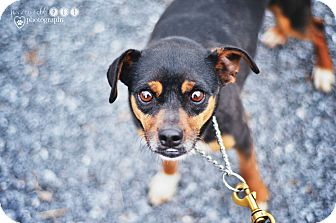 Miniature Pinscher/Chihuahua Mix Dog for adoption in Fayetteville, Georgia - Chip