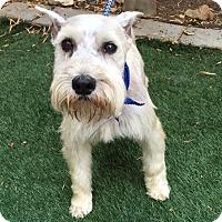 Adopt A Pet :: Schroeder - Redondo Beach, CA