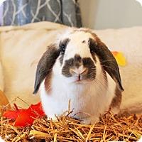 Adopt A Pet :: Bubbles - Hillside, NJ