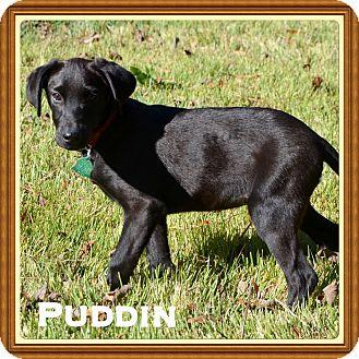 Labrador Retriever Mix Puppy for adoption in Brattleboro, Vermont - Puddin
