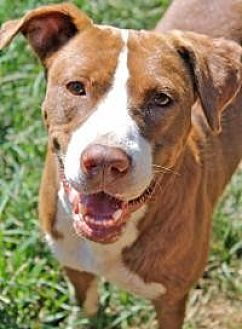 Staffordshire Bull Terrier Dog for adoption in Memphis, Tennessee - Vinnie