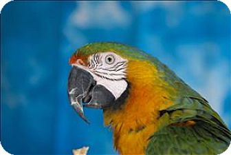 Macaw for adoption in Elizabeth, Colorado - Disney