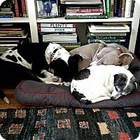 Adopt A Pet :: Donner - Berkeley, CA