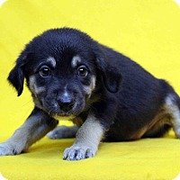 Adopt A Pet :: Hennie - Westminster, CO
