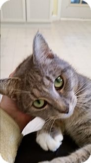 Domestic Shorthair Cat for adoption in Jacksonville, Florida - Hazel Grace