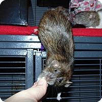 Rat for adoption in Belton, Texas - Curtis, Roy, and Gideon