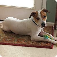 Terrier (Unknown Type, Medium)/Hound (Unknown Type) Mix Dog for adoption in Nanuet, New York - Sparky