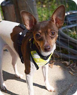 Rat Terrier Dog for adoption in Prosser, Washington - Abby