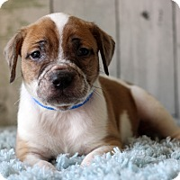 Adopt A Pet :: Geno - Waldorf, MD