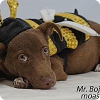 Adopt A Pet :: Mr. Bojangle - Waterbury, CT