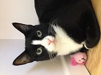 Domestic Shorthair Cat for adoption in Los Angeles, California - Miss Ellie