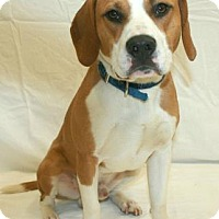 Beagle Mix Dog for adoption in Melbourne, Kentucky - Dempsey