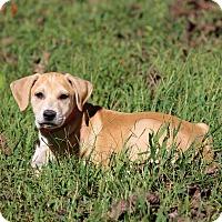 Adopt A Pet :: Pootle - Waldorf, MD