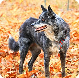 Australian Shepherd Dog for adoption in Pegram, Tennessee - Blue