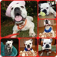 English Bulldog Dog for adoption in Inverness, Florida - Magnolia