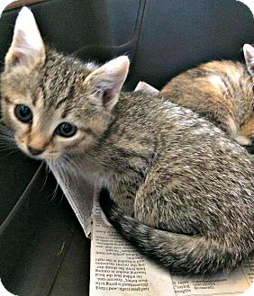 Domestic Shorthair Kitten for adoption in Jefferson, North Carolina - Janet