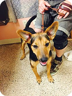 German Shepherd Dog Mix Dog for adoption in ST LOUIS, Missouri - Estella