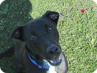 Labradoodle Mix Dog for adoption in Sidney, Ohio - Corbin