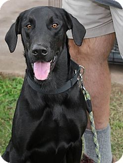 Labrador Retriever/Great Dane Mix Puppy for adoption in Baltimore, Maryland - Lucky