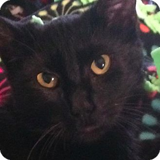 Domestic Shorthair Cat for adoption in New York, New York - Cassilda