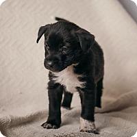 Adopt A Pet :: Loki - Westminster, CO