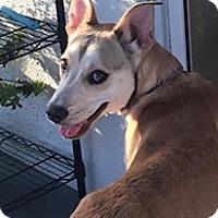 Adopt A Pet :: Stitch - Clearwater, FL