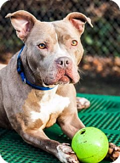 Pit Bull Terrier Mix Dog for adoption in Port Washington, New York - Spice