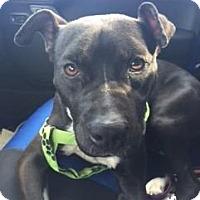 Adopt A Pet :: Jasper - Fairfax Station, VA