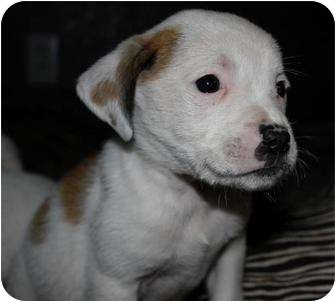 American Pit Bull Terrier Mix Puppy for adoption in Mesa, Arizona - Zephyr