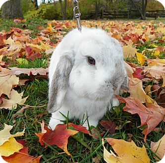 Lop, Holland Mix for adoption in North Gower, Ontario - Mushroom