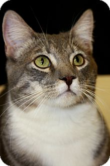 Domestic Shorthair Cat for adoption in Phoenix, Arizona - Flower