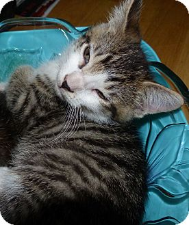 Domestic Shorthair Kitten for adoption in Lighthouse Point, Florida - Oliver